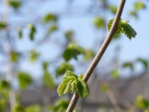 Foto BGL: Nicht nur mit ihren Früchten kann die Hasel punkten, auch während der anderen Jahreszeiten macht sie viel her, zum Beispiel im Frühling, wenn sie frisch austreibt.