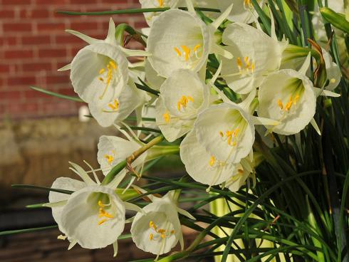 Foto: fluwel.de. - Narzissen sind nicht immer sonnig gelb und haben die typische Trompetenform - die Blüte der 'Mary Poppins' beispielsweise erinnert an einen Reifrock und ist pastellgelb.