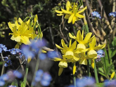 Foto: fluwel.de. - Engelstränen-Narzissen, wie die kleine zitronengelbe 'Hawera', schmücken sich mit leicht zurückgeschlagenen Blütenblättern und einer runden Nebenkrone.