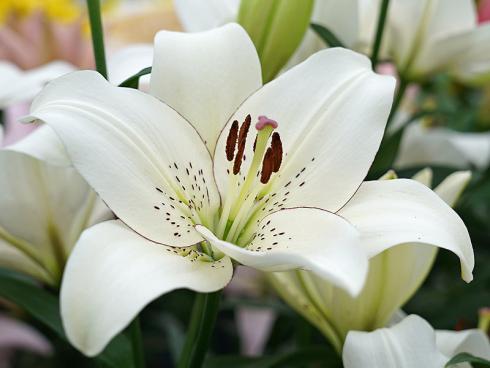 Foto: fluwel.de. - Die elegante 'Eyeliner' hat eine flache, weit geöffnete, schalenförmige Blüte in Weiss mit braunen Punkten und einem zarten, dunklen Rand.