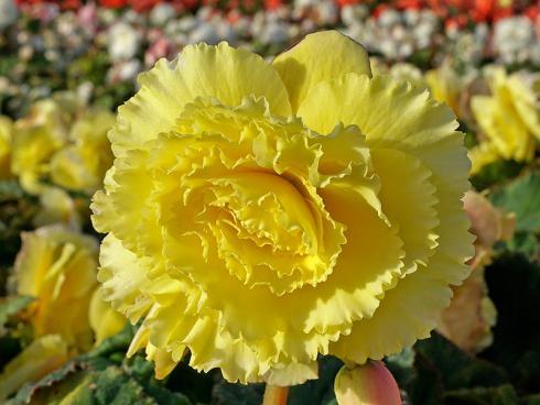 Foto fluwel.de: Die Blüten der neuen Ameri-Hybrid-Begonien sind farbintensiver und grösser als man es von Begonien kennt.