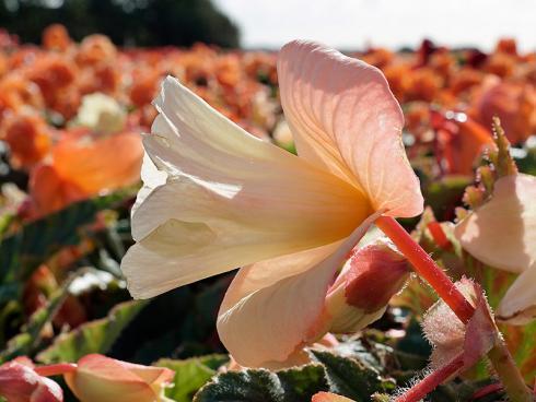 Foto fluwel.de: Diese Daffodil Begonien des neuen Ameri-Hybrid-Sortiments sind wirklich eine Besonderheit in der Welt der Begonien: Sie erinnern mit ihrer Blüte an Narzissen.