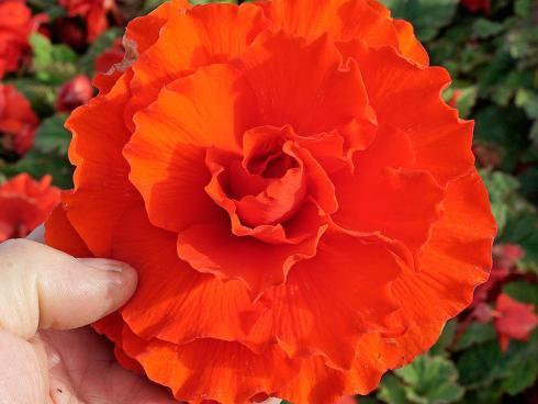 Foto fluwel.de: Die Ruffled Begonien entwickeln leicht gewellte Blütenblätter und verleihen der Pflanze ein fröhliches Aussehen.