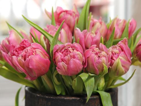 Bild TulpenZeit/ibulb: Gefüllte Tulpen sind in sanften Rosa- und anderen Pastelltönen sehr beliebt, denn diese geben den Schönheiten eine romantische Ausstrahlung und unterstreichen ihre Ähnlichkeit mit den Pfingstrosen.