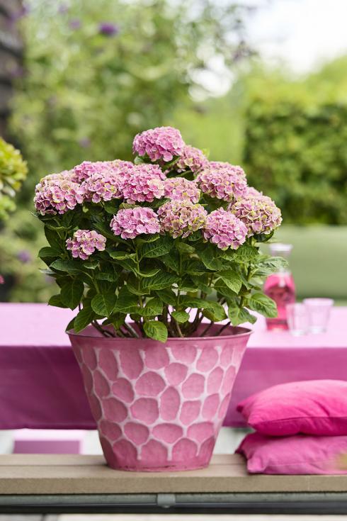 Bild Magical Hydrangea: Die magischen Hortensien für Draussen und Drinnen blühen garantiert für 150 Tage und wechseln während dieser Zeit Blütenfarbe.