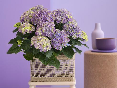 Bild Magical Hydrangea: Zuerst zeigen sich die neuen Hortensien in ruhigen Pastelltönen. Hier und da mischt sich zusätzlich etwas Grün in die kompakten Dolden und verleiht den Pflanzen frühlingshafte Frische.