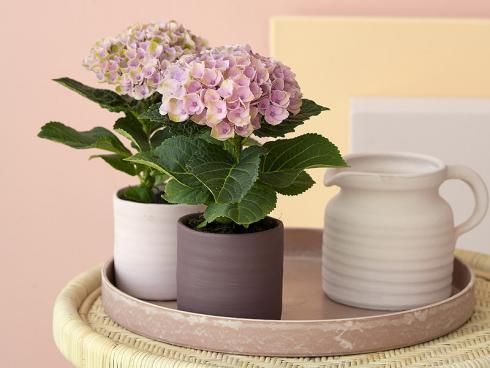 Bild Magical Hydrangea: Die kleinsten Hortensien entwickeln nur eine Blütendolde und sind ideal ist für Tischdekorationen im Wohnzimmer.