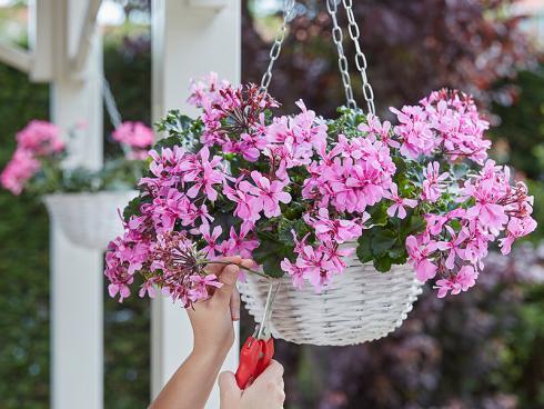 Bild Syngenta Flowers: Für Blumenampeln sind die sogenannten Calliope Cascade mit ihren sternenförmigen Blüten ideal. Als einzelner Stiel eignen sie sich auch hervorragend als Deko für den Tisch.