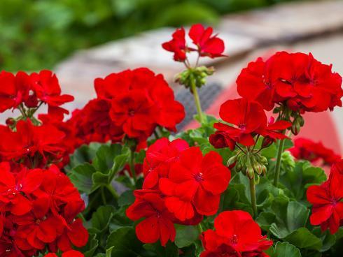 Bild Syngenta Flowers: Calliopes sind besonders robust und behalten selbst bei direkter Sonneneinstrahlung ihre intensiven Farben bis in den Herbst. Sie vertragen auch starke Temperaturunterschiede sowie Regen.