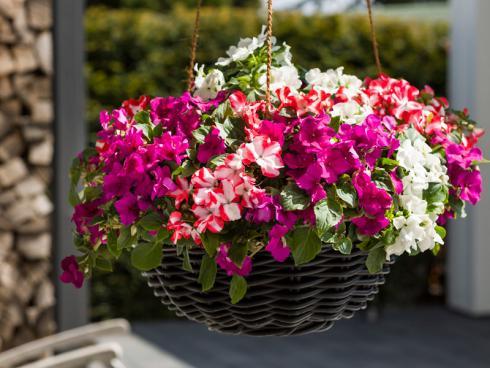 Bild Syngenta Flowers: Die Imara blüht überall farbstark - selbst an vollsonnigen Plätzchen.