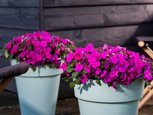 Bild Syngenta Flowers: Die Imara blüht überall, bei jedem Wetter und entwickelt unentwegt neue Knospen. Alles, was sie sich im Gegenzug wünscht, ist regelmässig Wasser und hin und wieder etwas Dünger.
