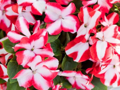 Bild Syngenta Flowers: Vom späten Frühling bis zum ersten Frost im Herbst erfreut die Imara mit ihren vielen Blüten, dem kompakten Wuchs und intensiven Farben.