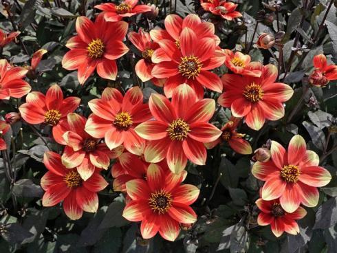 Bild fluwel.de: Optisch kommt die einfache Blüte der 'Dahlegria Bicolore' den wilden Dahlien aus Südamerika erstaunlich nahe. Besonders ist auch ihre Farbgebung: Sie blüht in einer hellen Rot-Gelb-Kombination, ihr Laub ist dagegen sehr dunkel und wirkt je nach Lichteinfall mal moosgrün, mal tief lila.