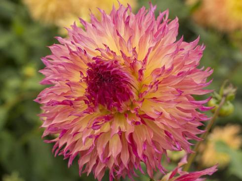 Bild fluwel.de: Die 'Myrtle's Folly' bringt Pink mit etwas Gelb zusammen und erinnert mit ihrer Vielzahl an gekräuselten Blütenblättern an ein loderndes Lagerfeuer.