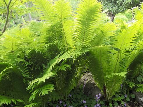 Bild BGL: Farne entwickeln sich sehr früh im Jahr und eignen sich auch für die etwas schattigeren Plätze im Garten.