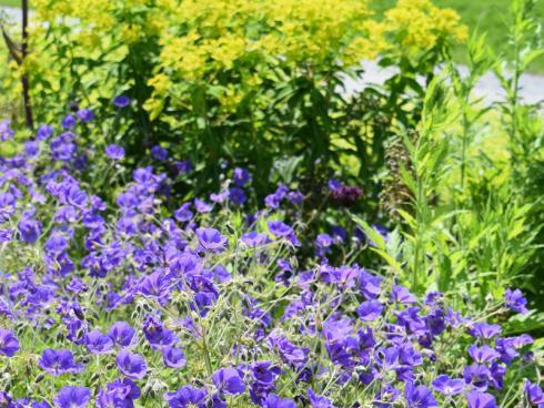 Bild BGL: Storchschnäbel gibt es mit Blüten in vielen verschiedenen Schattierungen. Die Pflanzen vertragen sommerliche Trockenheit meist besser als Staunässe.