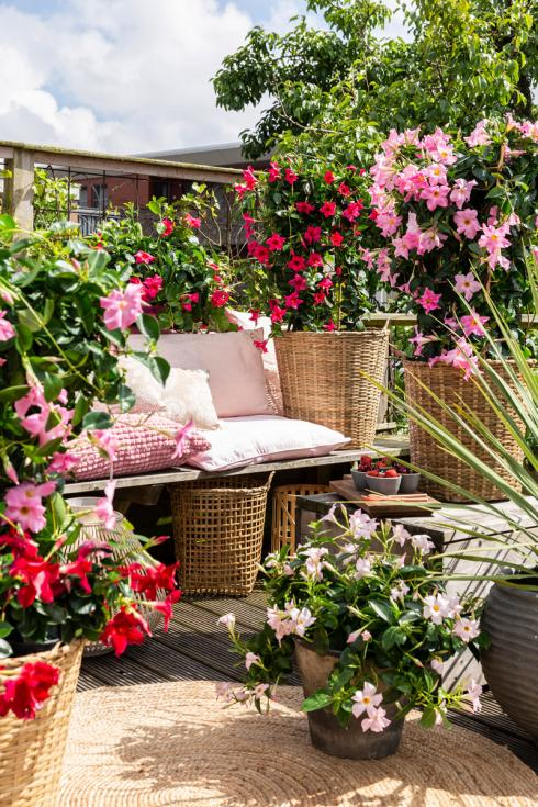 Bild Syngenta Flowers: Mit den farbenfrohen Blüten der tropischen Dipladenia  wird aus einem vorher eher unscheinbaren Balkon eine Wohlfühloase, die uns an weite Strände oder in tropische Natur träumen lassen.