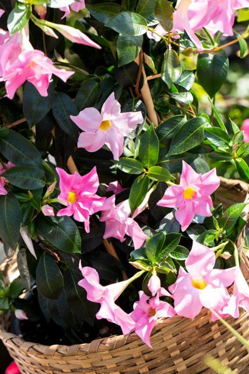 Bild Syngenta Flowers: Die trichterförmigen, einfachen Blüten sind leicht gewellt und sitzen wildromantisch verteilt zwischen ovalen, tiefgrün-glänzenden Blättern.