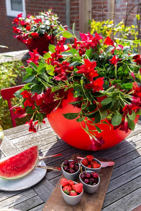 Bild Syngenta Flowers: Die Dipladenia Rio wächst dicht und hat als kletternde Hängepflanze doch einen lockeren Wuchs: Ihre Triebe winden sich interessant über den Rand des Blumentopfs.