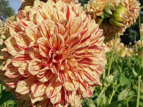 Bild fluwel.de: Online gibt es noch eine grosse Auswahl an Dahlienknollen, zum Beispiel diese zweifarbige Sorte 'Gloriosa'.