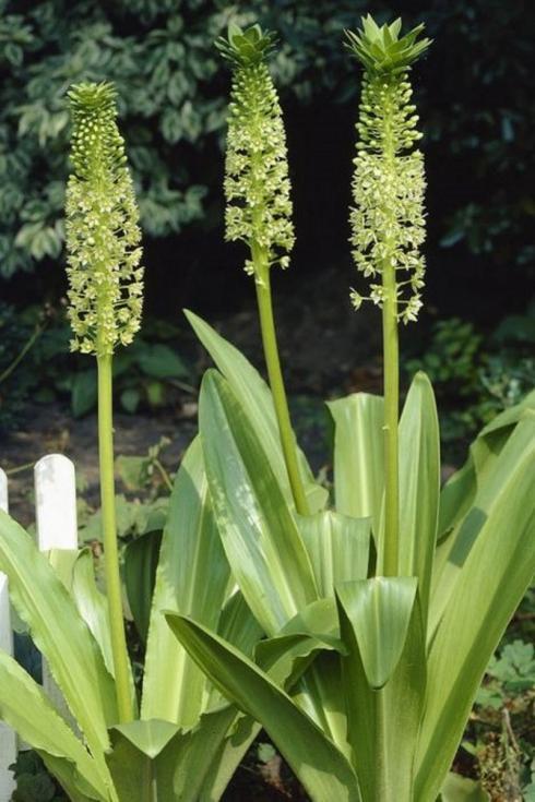 Bild fluwel.de: Die Eucomis pole-evansii - auch Ananaslilie genannt - ist eine der vielen, auflergewöhnlichen Knollen, die van der Veek in seinem Webshop anbietet.