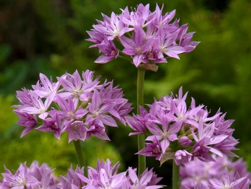 Foto fluwel.de: Der Allium unifolium 'Eros' wird 30 bis 40 Zentimeter hoch und seine sternförmigen Blüten formen kleine, lockere Dolden in zartem Violett.