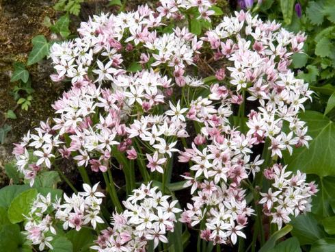 Foto fluwel.de: Die Blüten des Allium 'Cameleon' stehen dicht beieinander und sind im Juni leicht violett-rosa. Im Laufe des Folgemonats hellen sie jedoch merklich auf und leuchten schliesslich weiss.