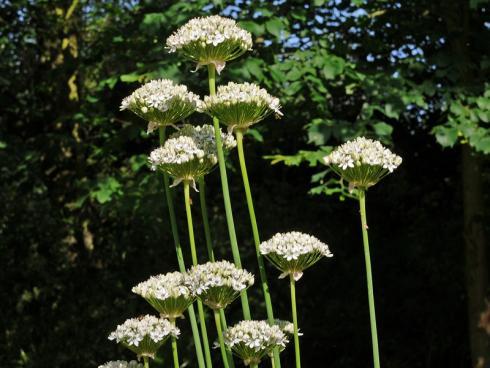 Foto fluwel.de: Allium nigrum formt mit seinen weissen Blüten eher einen Halbkreis als einen Ball. Das verleiht ihm natürlichen Charme, weshalb er äusserst gut auch in naturnahe Gärten passt.