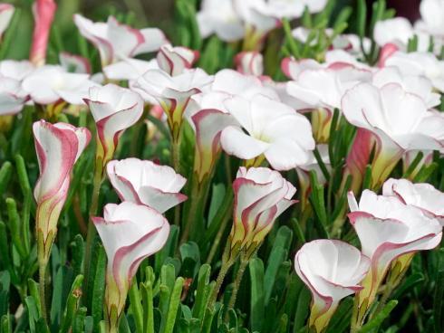 Foto fluwel.de: Schon wenige Wochen nach der Pflanzung im Oktober zeigen sich die ersten kleinen Blätter, im November schliesslich die ersten Knospen. Bis zum Jahreswechsel kann man sich an den fröhlichen, trichterförmigen Blüten der Oxalis erfreuen.