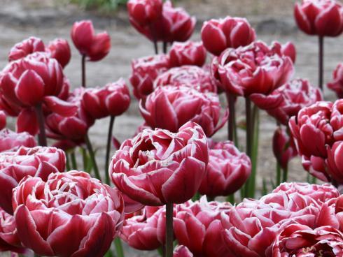 Bild fluwel.de: Die Tulpe 'Drumline' ist eine hochwachsende Frühblüherin und eignet sich bestens als elegante Platzhalterin für die Dahlie.