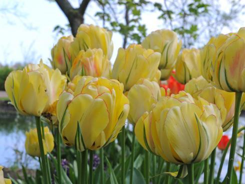 Bild fluwel.de: Die 'Akebono' dankt es - wie alle Tulpen - mit einer reichen und imposanten Blüte, wenn man sie später im Herbst pflanzt.