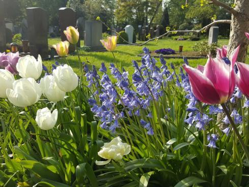 Bild fluwel.de: Tulpen sind ideal für die Grabbepflanzung. Ihre unglaubliche Vielfalt an Blütenfarben und -formen sind wie gemacht für wirkungsvolle Kombinationen. Gute Partner sind Narzissen oder wie hier das Spanische  Hasenglöckchen.
