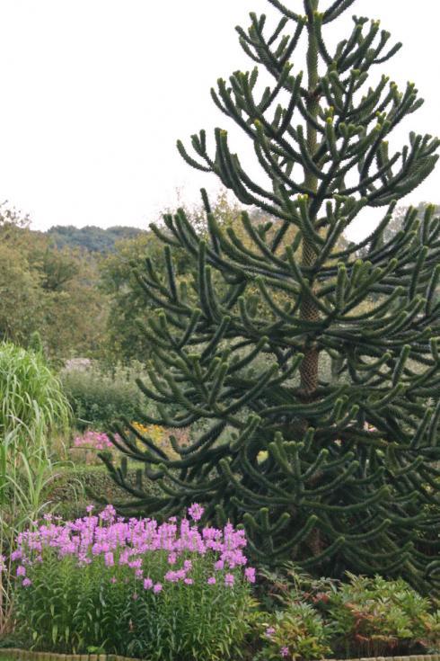 Bild BGL: Auch andere farblich zurückhaltende, immergrüne Pflanzen bieten sich als Hintergrund für farbstarke Blühpflanzen an: Gräser zum Beispiel oder imposante Nadelgehölze wie die Araukarie.