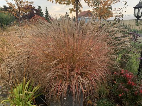 Bild elegrass: Miscanthus sinensis, der Tausendsassa unter den Gräsern, macht auch im Topf den ganzen Winter über eine gute Figur und sorgt noch im späten Jahr für Farbe.