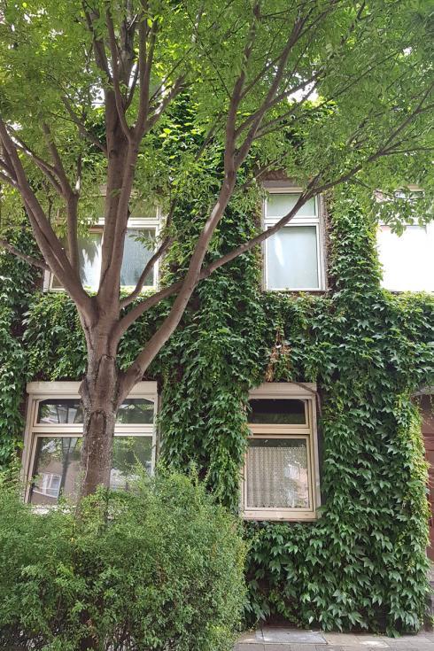 Bild BGL: Bei Fassadenbegrünung spielt die Auswahl standortgerechter Kletterpflanzen sowie die technisch perfekt ausgeführte Installation eine elementare Rolle.