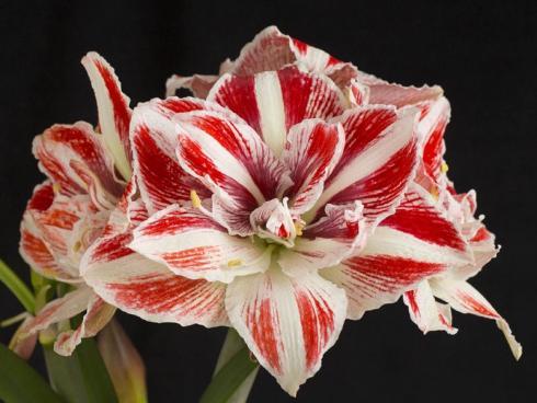 Bild fluwel.de: In der Weihnachtszeit dekorieren wir unsere Wohnungen besonders festlich und überbordend. In diese Arrangements passt die Amaryllis mit ihren eindrucksvollen Blüten auf langen Stielen einfach perfekt!