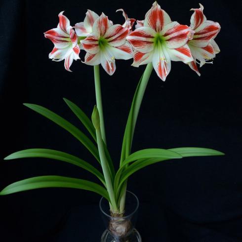 Bild fluwel.de: In speziellen Amaryllisvasen wachsen die Pflanzen auch ohne Erde.