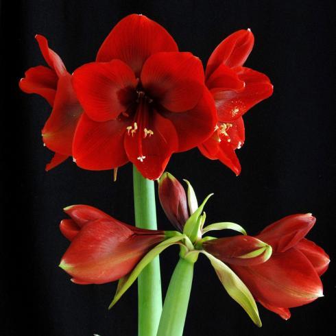 Bild fluwel.de: Vor allem vor dunklen Hintergründen kommen Blütenform und -farbe kunstvoll zur Geltung.