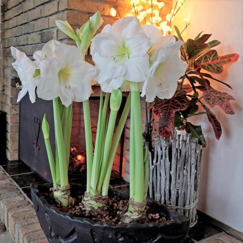 Bild fluwel.de: Die Amaryllis braucht wenig Platz, denn ihr Blumentopf muss nur unwesentlich grösser sein als ihre Zwiebel. Auch mehrere der dicken Bollen können eng nebeneinander gepflanzt und arrangiert werden.