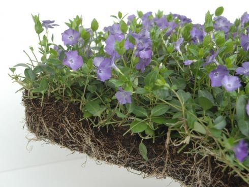 Foto: Helix. - Pflanzenmatten mit dem blaublühenden Immergrün: Ideal für die Unterpflanzung von Bäumen und Sträuchern.