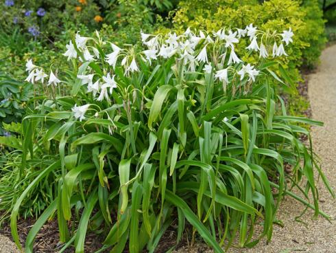Bild fluwel.de: Die Crinum powellii trägt von Jahr zu Jahr mehr Blüten und bildet einen dichten Horst. Zudem entwickelt die Mutterpflanze fleiflig Tochterzwiebeln, die wiederum nach einigen Jahren selbst zu blühen beginnen. So wird die Crinum immer breiter, voller und eindrucksvoller