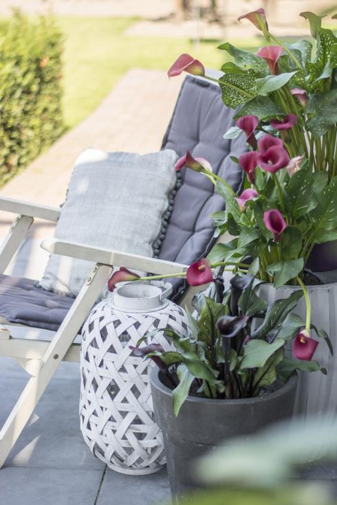 Bild Forever: Je nach Inszenierung im Raum oder auf Balkon und Terrasse und abhängig vom Gefäss ändert sich die Wirkung der Calla - von cool puristisch bis hin zu opulenter Eleganz, alles ist möglich.