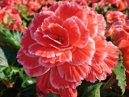 Bild fluwel.de: Besonders elegant wirken die Picotee-Sorten, bei denen sich die Blütenblattränder in einem helleren Ton zeigen.