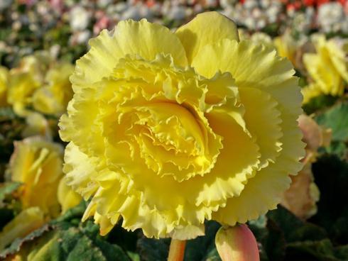 Bild fluwel.de: Die leicht gewellten Blütenblätter verleihen Ruffled-Sorten ein fröhliches Aussehen.