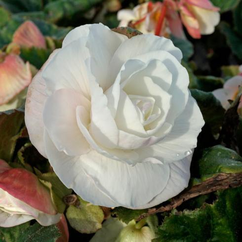 Bild fluwel.de: Die Roseform-Begonien erinnern mit ihren gefüllten, symmetrischen Blüten entfernt an Rosen.