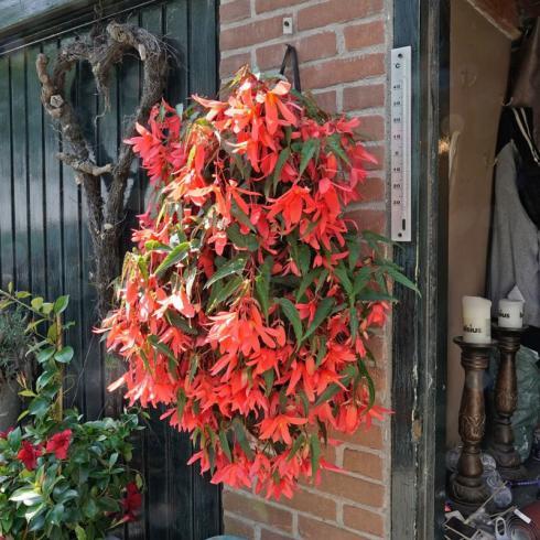 Bild fluwel.de: In Blumenampeln kommen die hängenden Stiele und Blüten der Begonia bertinii bestens zur Geltung.