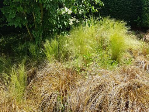 Bild elegrass: Dieser Hartriegel steht in den federnden Wogen bodendeckender Gräser, die an der dunkleren Gartenstelle für Licht und Bewegung im Beet sorgen.