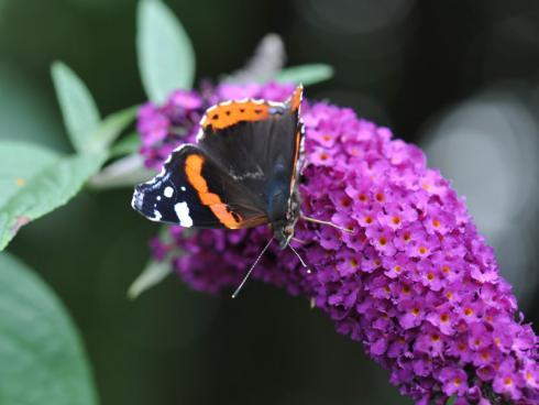 Bild Forever: Bei Insekten und Schmetterlingen beliebt. Achtung bei der Pflanze nach der Blüte die Samenstände entferen. Die Pflanze zählt zu den invasiven Neophyten.