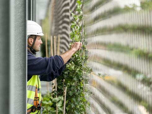Bild Stefan Schilling/Helix: Bis die Pflanzenwand üppig und dicht ist, vergehen etwa zwei bis drei Jahre. In dieser Entwicklungszeit werden die neuen Triebe regelmäflig in das Stahlnetz eingeflochten.