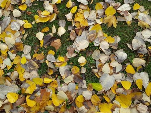 Bild Hauert Manna: Um den Rasen vor Erkrankungen wie Schneeschimmel zu bewahren,  sollte man regelmäflig sämtliches Herbstlaub von der Fläche entfernen. Denn unter nassen Blättern werden die Gräser nicht gut belüftet und bekommen nur wenig Sonnenlicht.